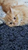 قطة شيرازي persian cat