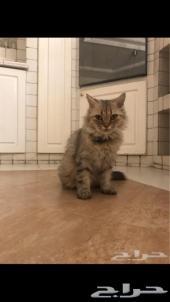 قطة شيرازي حامل للبيع ب300 فقط