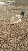 دجاجة بلدية.