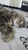 قطه انثى شيرازيه للبدل