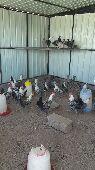 للبيع دجاج فيومي   دندراوي   أندلسي