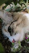 قطة انثى شيرازية