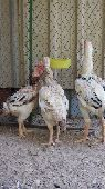طقم دجاج فارسي حجازي فاخر للبيع