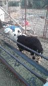 خروف مهجن للبيع