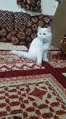 قطه شرازية مون فيس انثى . العمر سنه 3 شهور