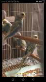 طيور بادجي على السوم