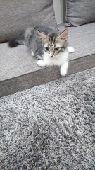 قط شيرازي للبيع (بالجبيل البلد)