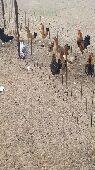 دجاج بلدي  حفر الباطن