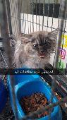 قط شيرازي مريض للتبني لوجه الله