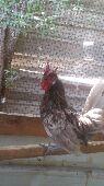 دجاج وديكه عربي
