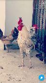 للبيع دجاج وديوك