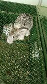 أرانب للبيع(تم البيع)