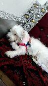 كلب مالتيزي