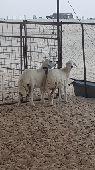 الدمام - خروفين حريات