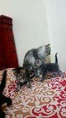 قطط شيرازيه للبيع
