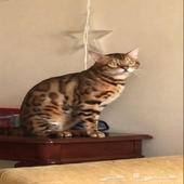 قط بنغال للتزاوج Bengal cat for mating