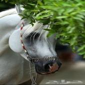مزاد الخيل فرس حصان مهر مهره