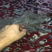 قطط صغيرة