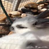 جوز أرانب
