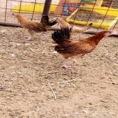 صوص دجاج بلدي للبيع عدد 300