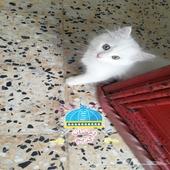 قط شارازي للبيع