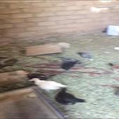 دجاج للبيع الشملي