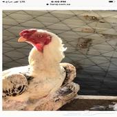 بيض دجاج نوادر الان موجود طبق من كل نوع
