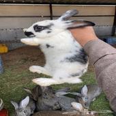 زوج ارانب بابيون للبيع