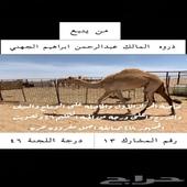 هجن مفرود حاصله على المركز الاول باجمل مفروده حره