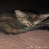 قطه تايقر العمر ثلاث شهور للبيع
