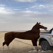 حصان طرب