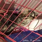 قطه شيرازي صغيره