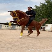 حصان شعبي فاخر