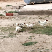 طقم دجاج براهما