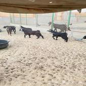 تيوس وجفار في محافظة املج