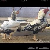 دجاج فارسي عملاق مستوى فخم