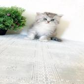 قطة قطط صغيرة للبيع