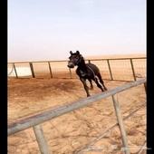 حصان طيب موالف الابل