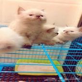 قطط هملايا بكيي فيس