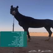 حصان هادي جدا يصلح للمبتدئ