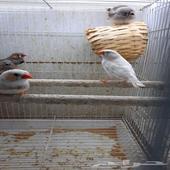 طيور زيبرا