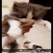 قطط كيتن بسس