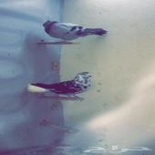 طيور كش ابها