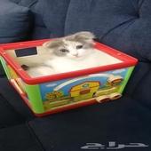 قطة من ام سكوتش و اب شيرازي