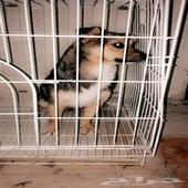 كلب للبيع .