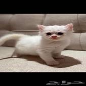 قطط شيرازي الدمام (للبيع)