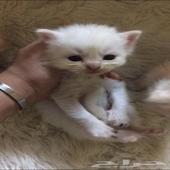 قطط كيتين للبيع