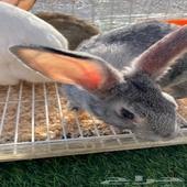 ارانب للبيع الاحساء