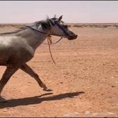 حصان عربي طوع وهادي