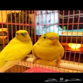 طيور الحب (جوزين)
